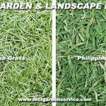 Japanese Grass Vs Philippines Grass