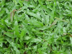 Cow Grass For Sale Johor Bahru