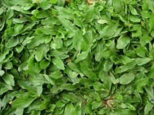 Pearl Grass For Sale Johor Bahru