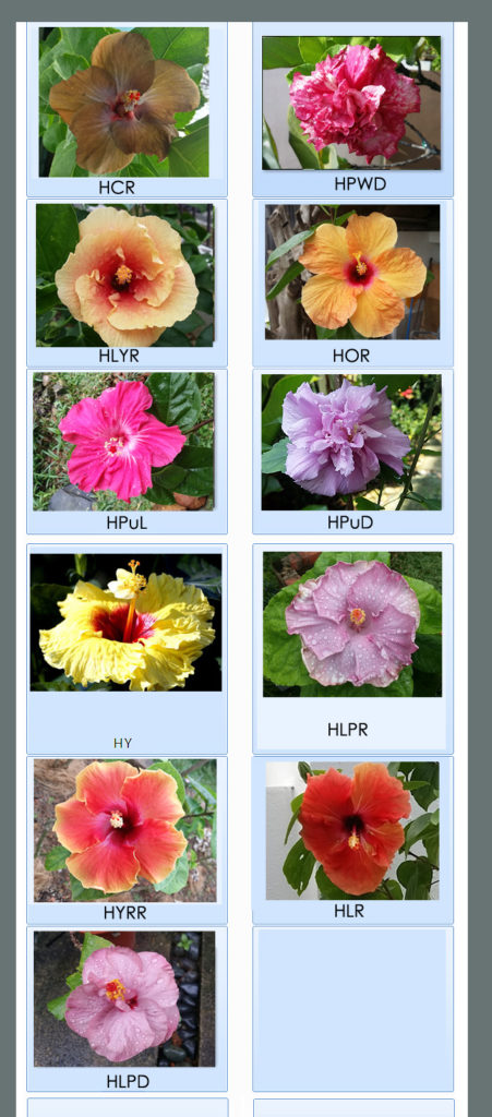 Tropical Hibiscus Cutting For Sale Welcome To Mcl Garden